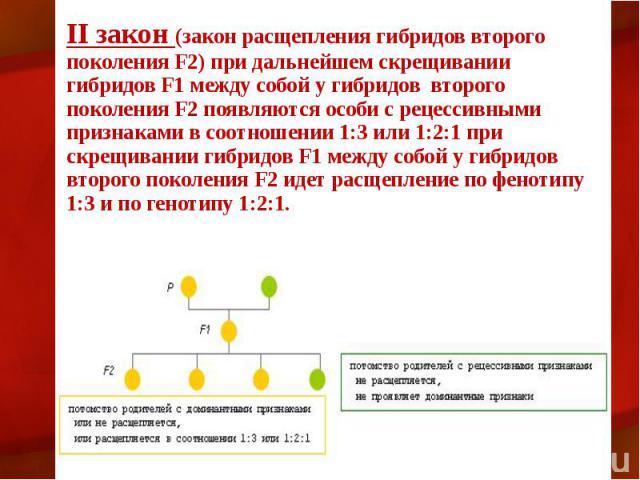 II закон (закон расщепления гибридов второго поколения F2) при дальнейшем скрещивании гибридов F1 между собой у гибридов второго поколения F2 появляются особи с рецессивными признаками в соотношении 1:3 или 1:2:1 при скрещивании гибридов F1 между со…