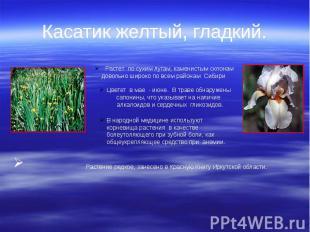 Касатик желтый, гладкий. Растение редкое, занесено в Красную Книгу Иркутской обл