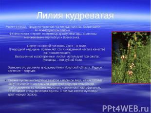 Лилия кудреватая