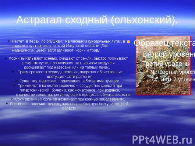 Астрагал сходный (ольхонский).