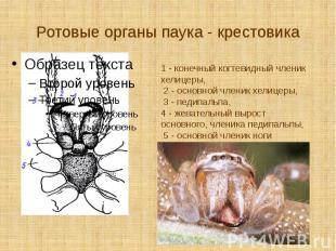 Ротовые органы паука - крестовика