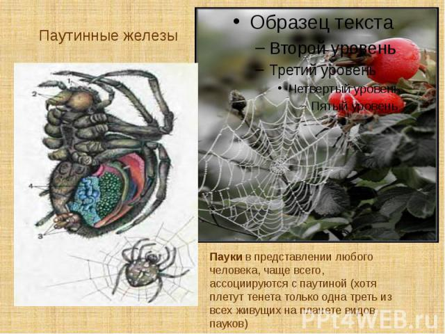 Паутинные железы