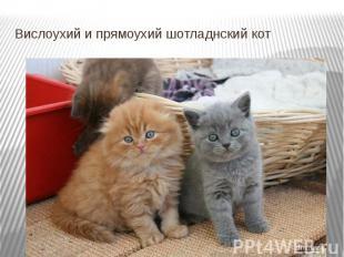 Вислоухий и прямоухий шотладнский кот
