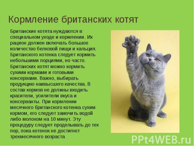 Кормление британских котят