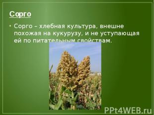 Сорго Сорго – хлебная культура, внешне похожая на кукурузу, и не уступающая ей п