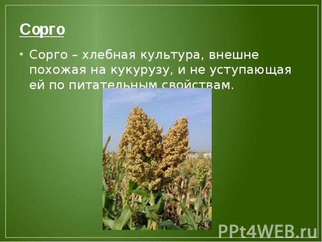 Сорго Сорго – хлебная культура, внешне похожая на кукурузу, и не уступающая ей по питательным свойствам.