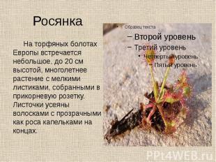 Росянка На торфяных болотах Европы встречается небольшое, до 20 см высотой, мног