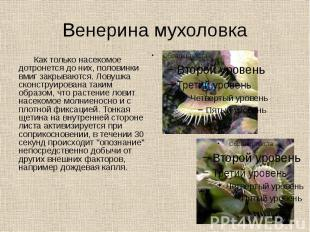 Венерина мухоловка Как только насекомое дотронется до них, половинки вмиг закрыв