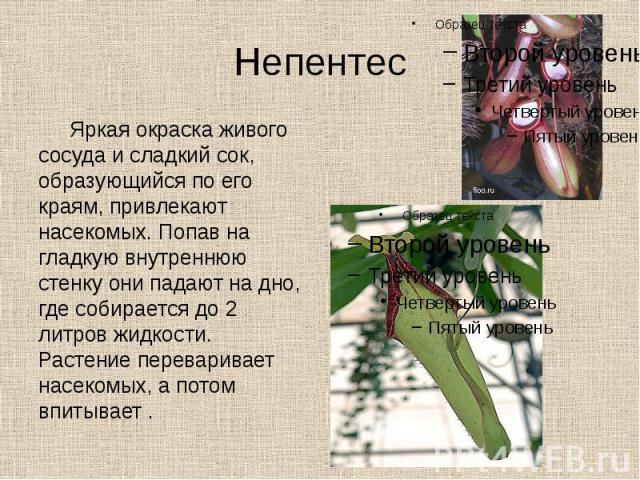 Непентес Яркая окраска живого сосуда и сладкий сок, образующийся по его краям, привлекают насекомых. Попав на гладкую внутреннюю стенку они падают на дно, где собирается до 2 литров жидкости. Растение переваривает насекомых, а потом впитывает .