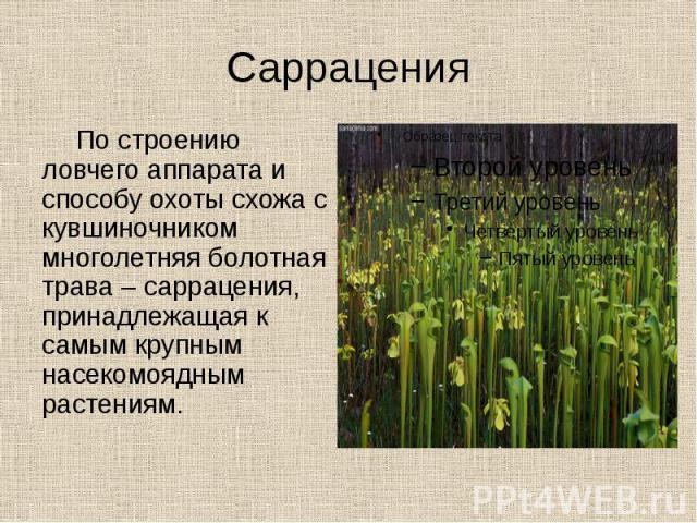 Саррацения По строению ловчего аппарата и способу охоты схожа с кувшиночником многолетняя болотная трава – саррацения, принадлежащая к самым крупным насекомоядным растениям.