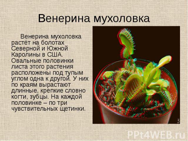 Венерина мухоловка Венерина мухоловка растёт на болотах Северной и Южной Каролины в США. Овальные половинки листа этого растения расположены под тупым углом одна к другой. У них по краям вырастают длинные, крепкие словно когти, зубцы. На каждой поло…