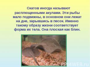 Скатов иногда называют расплющенными акулами. Эти рыбы мало подвижны, в основном