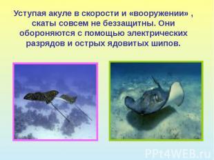 Уступая акуле в скорости и «вооружении» , скаты совсем не беззащитны. Они оборон