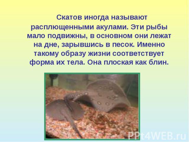 Скатов иногда называют расплющенными акулами. Эти рыбы мало подвижны, в основном они лежат на дне, зарывшись в песок. Именно такому образу жизни соответствует форма их тела. Она плоская как блин.