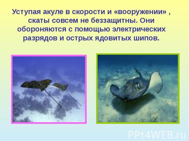 Уступая акуле в скорости и «вооружении» , скаты совсем не беззащитны. Они обороняются с помощью электрических разрядов и острых ядовитых шипов.