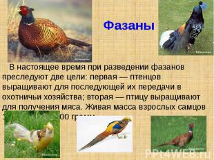 Фазаны В настоящее время при разведении фазанов преследуют две цели: первая — пт