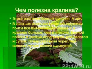 Чем полезна крапива? Этого растения боятся как огня. А зря. В листьях этого раст