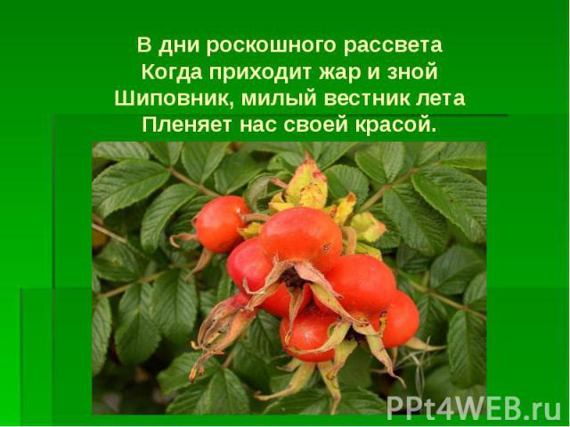 В дни роскошного рассвета Когда приходит жар и зной Шиповник, милый вестник лета Пленяет нас своей красой.