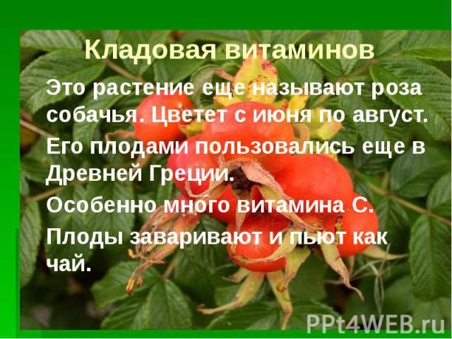 Кладовая витаминов Это растение еще называют роза собачья. Цветет с июня по август. Его плодами пользовались еще в Древней Греции. Особенно много витамина С. Плоды заваривают и пьют как чай.