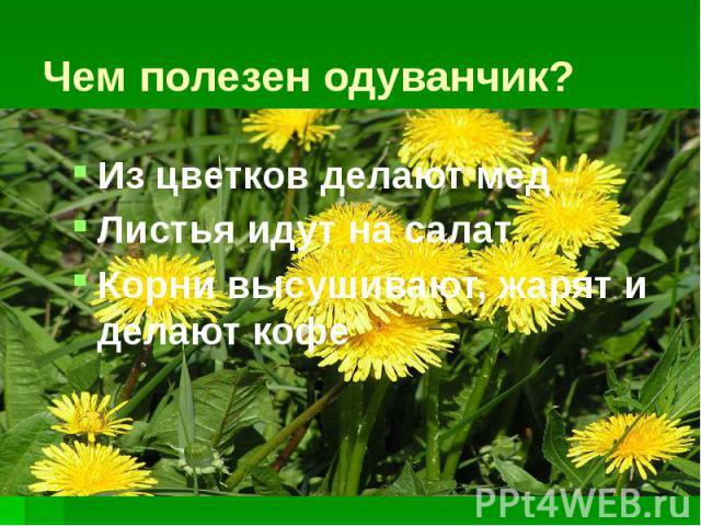 Чем полезен одуванчик? Из цветков делают мед Листья идут на салат Корни высушивают, жарят и делают кофе