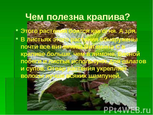 Чем полезна крапива? Этого растения боятся как огня. А зря. В листьях этого растения обнаружены почти все витамины.Витамина С в крапиве больше, чем в лимоне. Весной побеги и листья используют для салатов и супов. Отвар растения укрепляет волосы лучш…