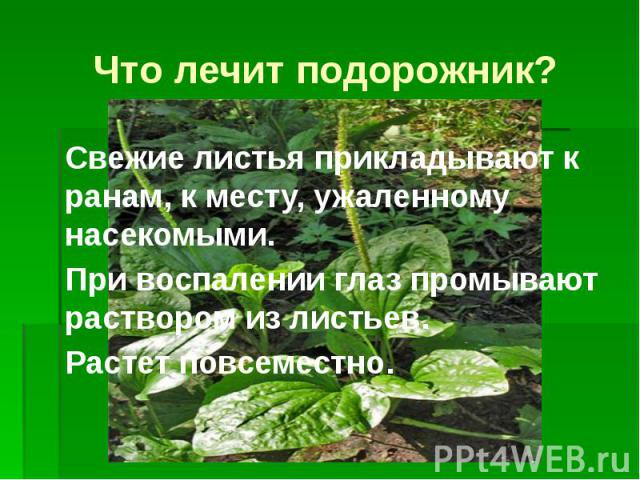 Что лечит подорожник? Свежие листья прикладывают к ранам, к месту, ужаленному насекомыми. При воспалении глаз промывают раствором из листьев. Растет повсеместно.