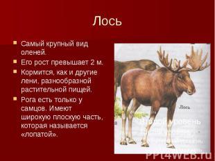 Лось Самый крупный вид оленей. Его рост превышает 2 м. Кормится, как и другие ле