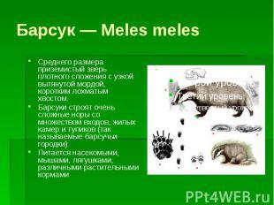Барсук — Meles meles Среднего размера приземистый зверь плотного сложения с узко