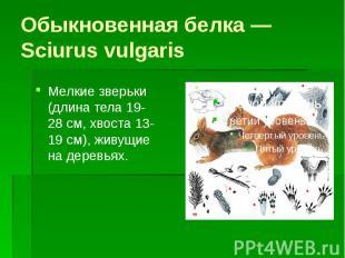 Обыкновенная белка — Sciurus vulgaris Мелкие зверьки (длина тела 19-28 см, хвост