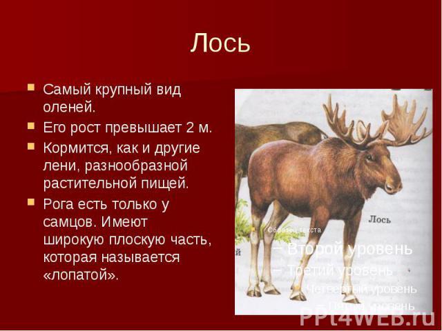 Лось Самый крупный вид оленей. Его рост превышает 2 м. Кормится, как и другие лени, разнообразной растительной пищей. Рога есть только у самцов. Имеют широкую плоскую часть, которая называется «лопатой».