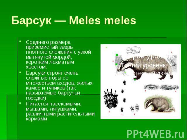 Барсук — Meles meles Среднего размера приземистый зверь плотного сложения с узкой вытянутой мордой, коротким лохматым хвостом. Барсуки строят очень сложные норы со множеством входов, жилых камер и тупиков (так называемые барсучьи городки) Питается н…