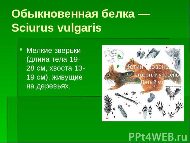Обыкновенная белка — Sciurus vulgaris Мелкие зверьки (длина тела 19-28 см, хвоста 13-19 см), живущие на деревьях.