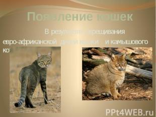Появление кошек В результате скрещивания евро-африканской дикой кошки и камышово