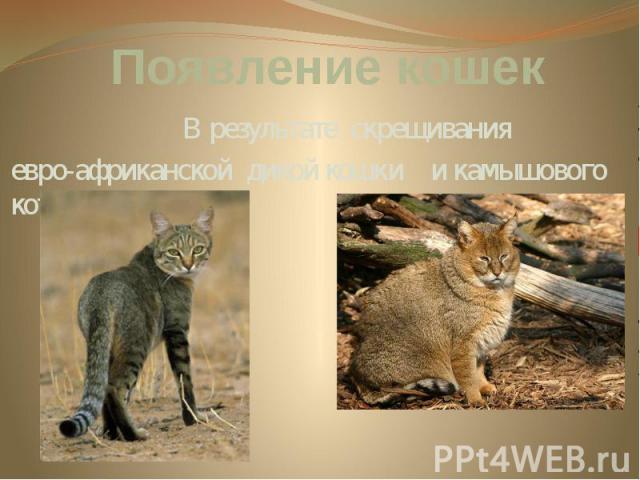 Появление кошек В результате скрещивания евро-африканской дикой кошки и камышового кота.