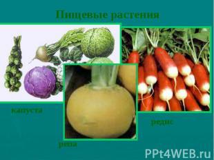 Пищевые растения редис
