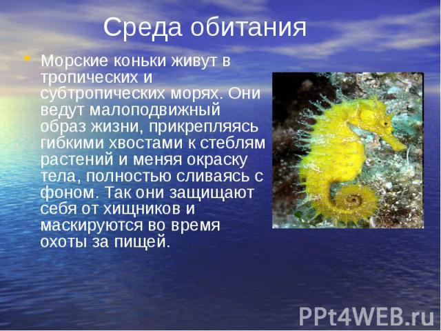 Среда обитания Морские коньки живут в тропических и субтропических морях. Они ведут малоподвижный образ жизни, прикрепляясь гибкими хвостами к стеблям растений и меняя окраску тела, полностью сливаясь с фоном. Так они защищают себя от хищников и мас…