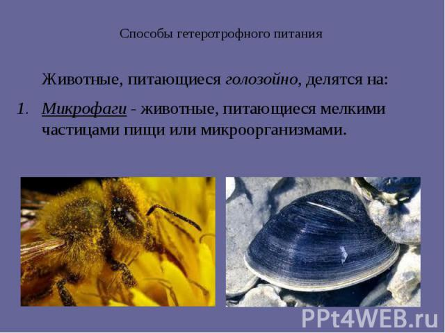 Способы гетеротрофного питания Животные, питающиеся голозойно, делятся на: Микрофаги - животные, питающиеся мелкими частицами пищи или микроорганизмами.