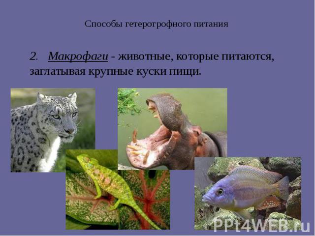 Способы гетеротрофного питания 2. Макрофаги - животные, которые питаются, заглатывая крупные куски пищи.