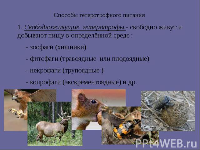 Способы гетеротрофного питания 1. Свободноживущие гетеротрофы - свободно живут и добывают пищу в определённой среде : - зоофаги (хищники) - фитофаги (травоядные или плодоядные) - некрофаги (трупоядные ) - копрофаги (экскрементоядные) и др.
