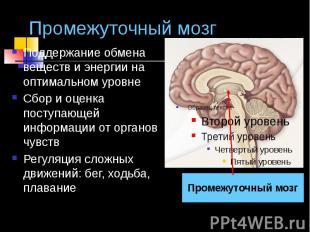 Промежуточный мозг Поддержание обмена веществ и энергии на оптимальном уровне Сб