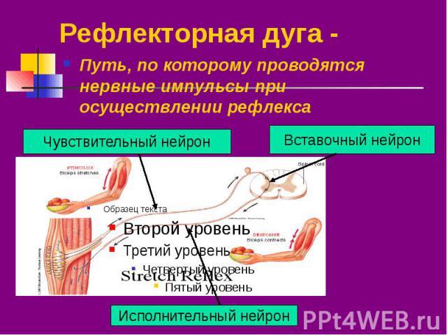 Рефлекторная дуга - Путь, по которому проводятся нервные импульсы при осуществлении рефлекса