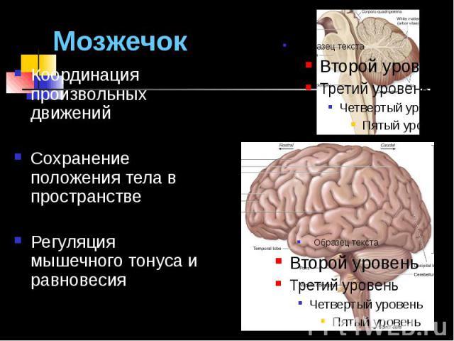 Мозжечок Координация произвольных движений Сохранение положения тела в пространстве Регуляция мышечного тонуса и равновесия