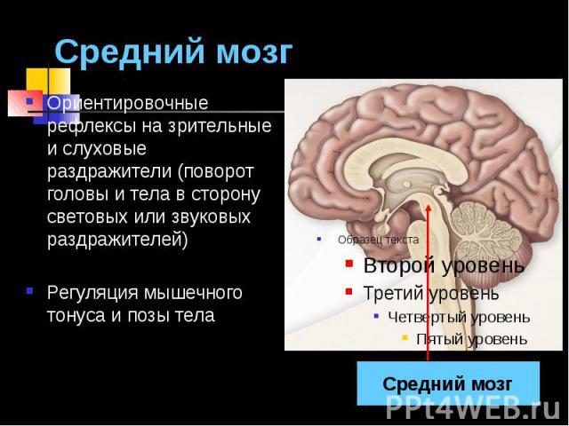 Средний мозг Ориентировочные рефлексы на зрительные и слуховые раздражители (поворот головы и тела в сторону световых или звуковых раздражителей) Регуляция мышечного тонуса и позы тела