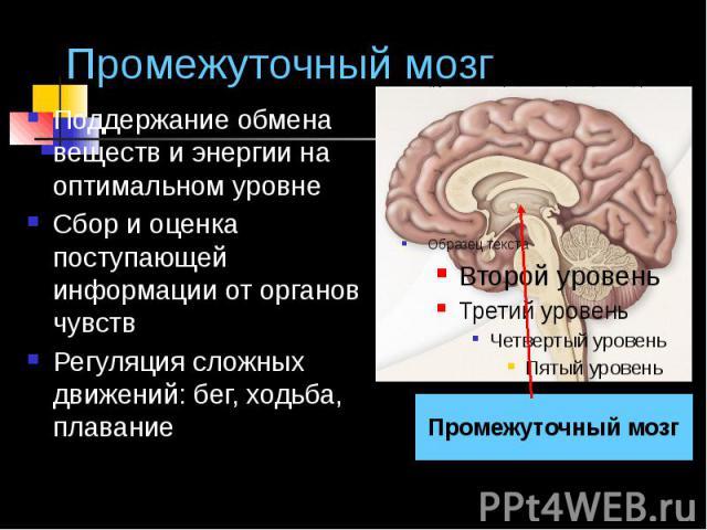 Промежуточный мозг Поддержание обмена веществ и энергии на оптимальном уровне Сбор и оценка поступающей информации от органов чувств Регуляция сложных движений: бег, ходьба, плавание