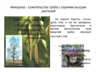 Микориза - сожительство гриба с корнями высших растений На корнях берёзы, сосны,