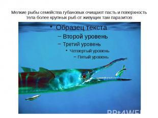 Мелкие рыбы семейства губановых очищают пасть и поверхность тела более крупных р