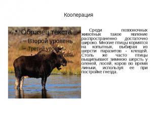 Кооперация Среди позвоночных животных такое явление распространенно достаточно ш