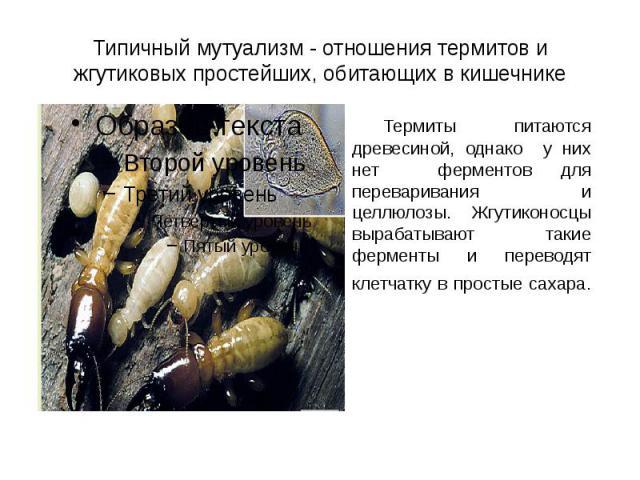 Типичный мутуализм - отношения термитов и жгутиковых простейших, обитающих в кишечнике Термиты питаются древесиной, однако у них нет ферментов для переваривания и целлюлозы. Жгутиконосцы вырабатывают такие ферменты и переводят клетчатку в простые сахара.
