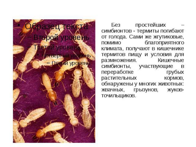 Без простейших – симбионтов - термиты погибают от голода. Сами же жгутиковые, помимо благоприятного климата, получают в кишечнике термитов пищу и условия для размножения. Кишечные симбионты, участвующие в переработке грубых растительных кормов, обна…