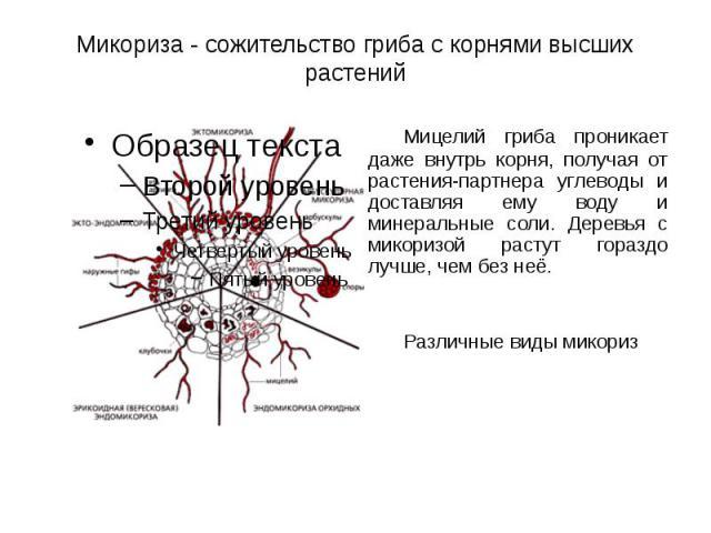Микориза - сожительство гриба с корнями высших растений Мицелий гриба проникает даже внутрь корня, получая от растения-партнера углеводы и доставляя ему воду и минеральные соли. Деревья с микоризой растут гораздо лучше, чем без неё. Различные виды микориз